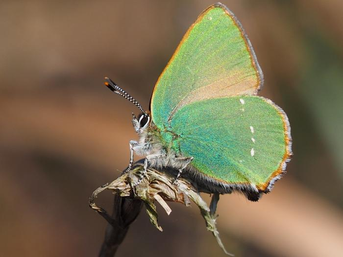 green-hairstreak-butterfly-M229555