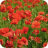 poppies, poppy, remembrance sunday, remembrance day